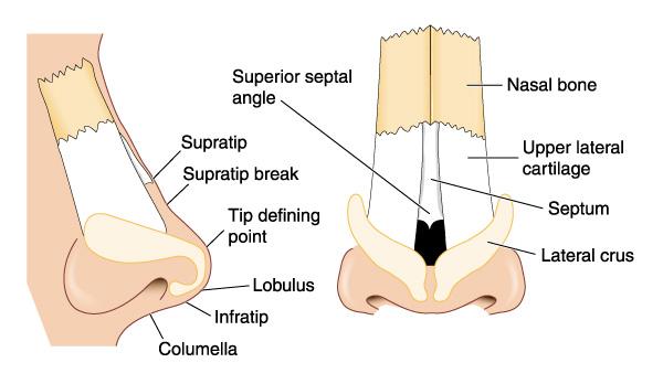 anatomy of the nasal skeleton