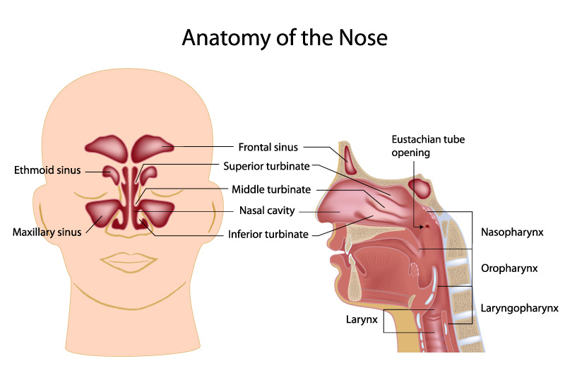 anatomy of the nose and paranasal sinuses